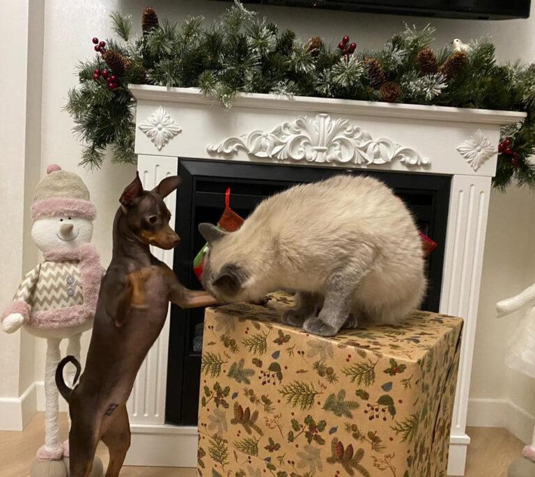Пражский крысарик и кошки